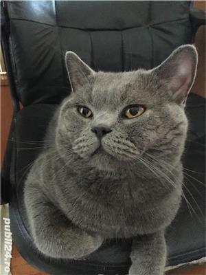 Motan British Shorthair - imagine 2