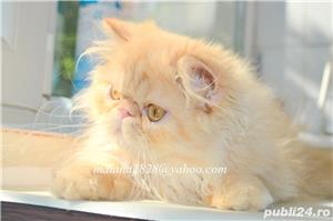 Pui persan Turtit Red Tabby !!! - imagine 7