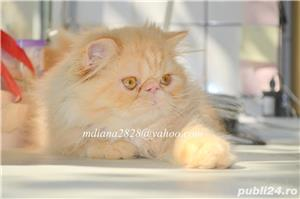 Pui persan Turtit Red Tabby !!! - imagine 6