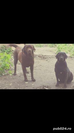 Labrador  - imagine 10
