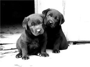 Labrador  - imagine 8