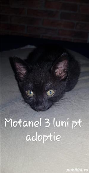 Adoptie motanel - imagine 1