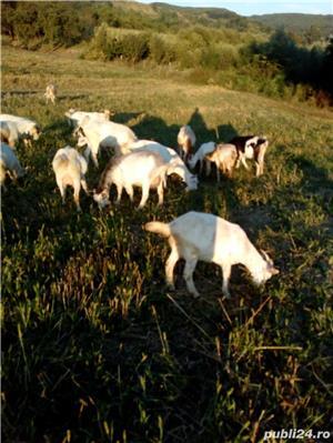 Vând capre, iezi - imagine 6