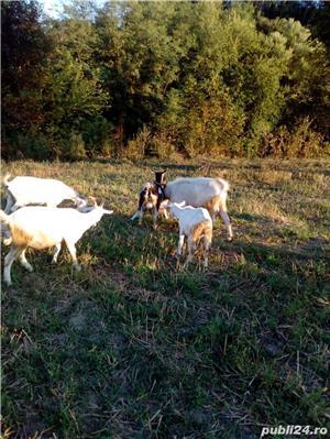 Vând capre, iezi - imagine 2