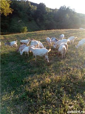 Vând capre, iezi - imagine 5