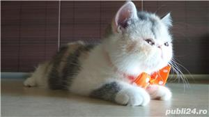 Puiuti Exotic Shorthair Cu Pedigree - imagine 7
