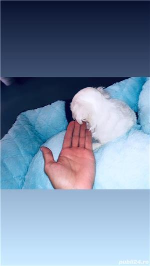 Pui Bichon Maltez mini-toy rasă pură. Mai avem doar un puiuț! - imagine 4
