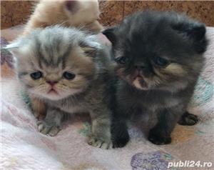 pisicute persane calitate - imagine 3