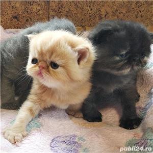 pisicute persane calitate - imagine 2