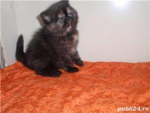 pisicuta persana tortie super calitate - imagine 1