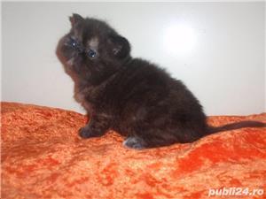 pisicuta persana tortie super calitate - imagine 3