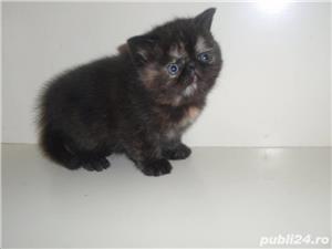pisicuta persana tortie super calitate - imagine 2