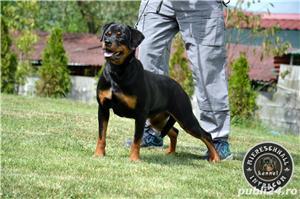 Femela Rottweiler 11 luni - imagine 1