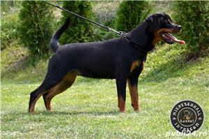 Femela Rottweiler 11 luni - imagine 5