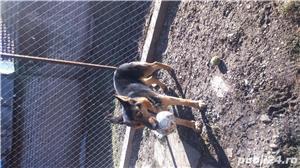 Câine ciobănesc belgian melinois /ciobănesc german  - imagine 1