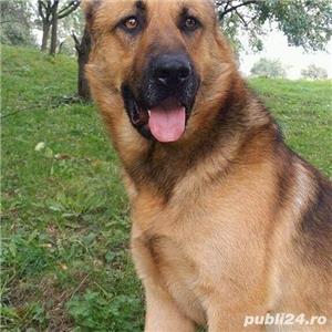 Câine ciobănesc belgian melinois /ciobănesc german  - imagine 2
