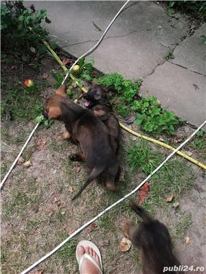 Câine ciobănesc belgian melinois /ciobănesc german  - imagine 3