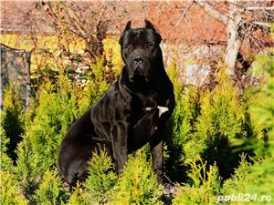 Monta Cane Corso Pedigree - imagine 1