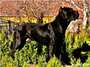 Monta Cane Corso Pedigree - imagine 3
