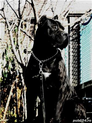Monta Cane Corso Pedigree - imagine 2