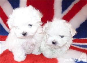 Pui bichon mini toy albi femele și masculin  - imagine 2