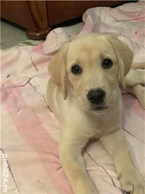 Fetița labrador cu pedigree tip A - imagine 1