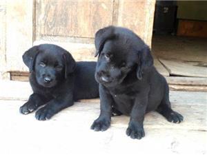 Labrador Retriever  - imagine 10