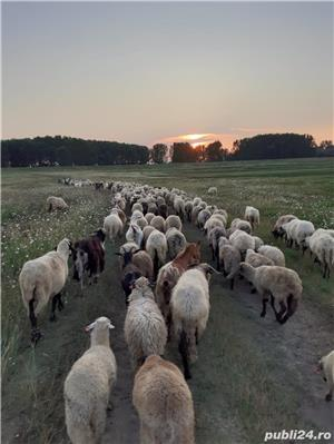 Vinzare oi.capre ,miei - imagine 1