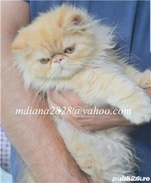 Pui persan Turtit Red Tabby !!! - imagine 9