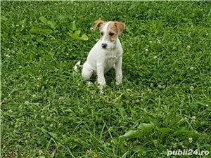 Jack Russell Terrier  - imagine 3