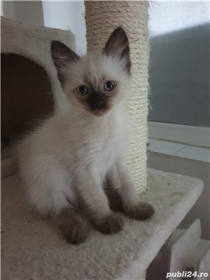 Pui pisica birmaneza, birmanezi - imagine 2