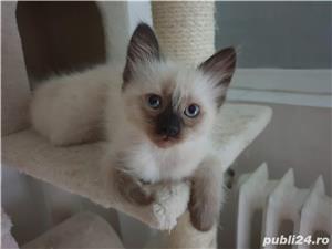 Pui pisica birmaneza, birmanezi - imagine 3