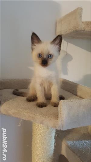 Pui pisica birmaneza, birmanezi - imagine 4