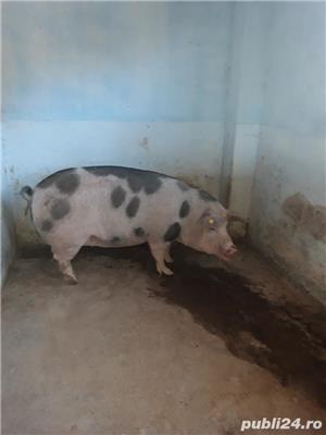 Vand porc tanar - imagine 6