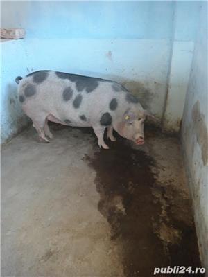 Vand porc tanar - imagine 2