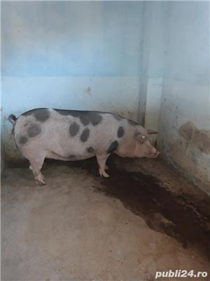 Vand porc tanar - imagine 3