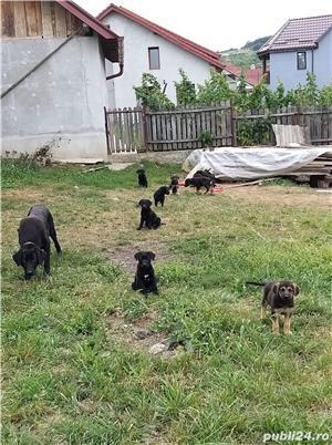 Pui de labrador culoare neagra - imagine 2