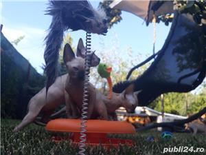 Pisica sphynx canadian - imagine 4