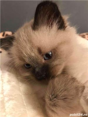 Vand pisica birmaneza  - imagine 3