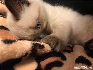 Vand pisica birmaneza  - imagine 6