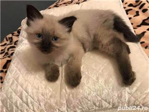 Vand pisica birmaneza  - imagine 4