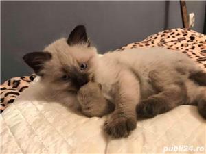 Vand pisica birmaneza  - imagine 2