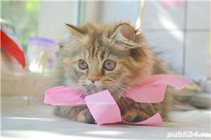 Pui pisica persana Doll Face ! - imagine 4