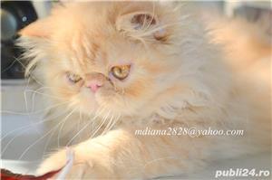 Pui pisica persana Doll Face ! - imagine 3