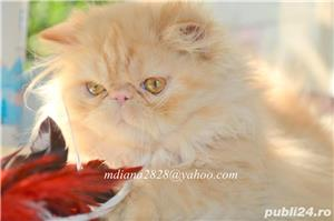Pui pisica persana Doll Face ! - imagine 7