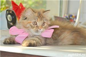 Pui pisica persana Doll Face ! - imagine 10