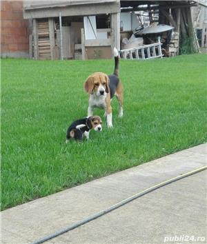 Beagle Mascul 10 saptamani - imagine 9