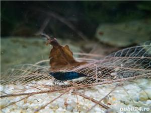 Creveti acvariu neocaridina davidi blue dream - imagine 2