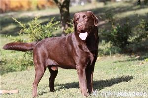 Puiuți deosebiți Labrador maro ciocolatiu din părinți cu pedigree - imagine 5