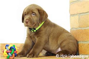 Puiuți deosebiți Labrador maro ciocolatiu din părinți cu pedigree - imagine 3